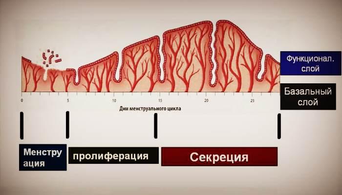 Фазы менструального цикла у женщин