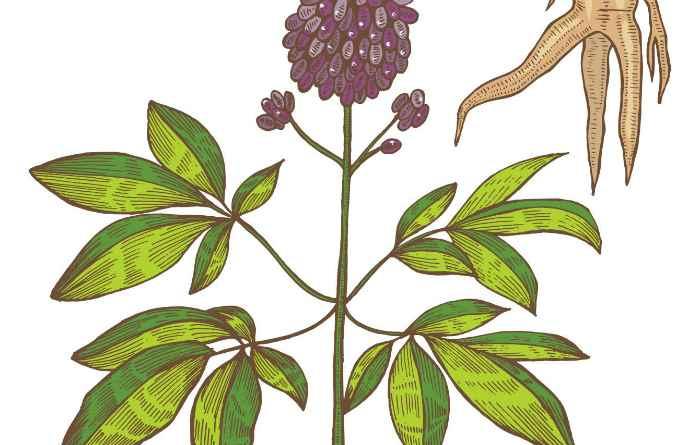 Растение элеутерококк - применение