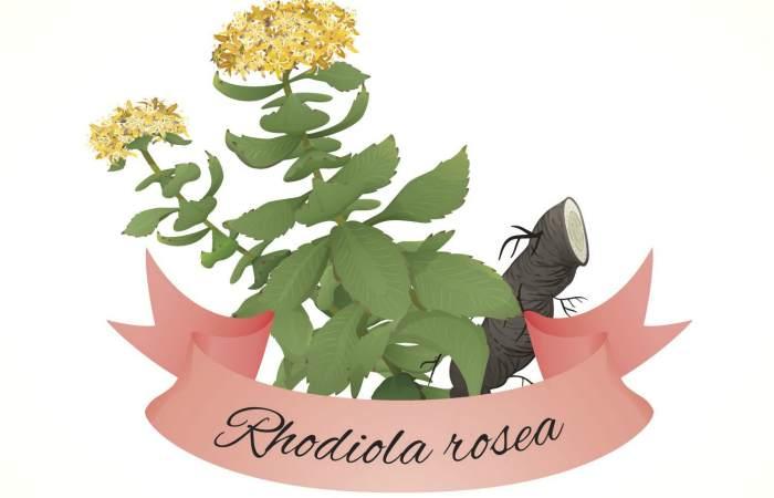Трава родиола розовая