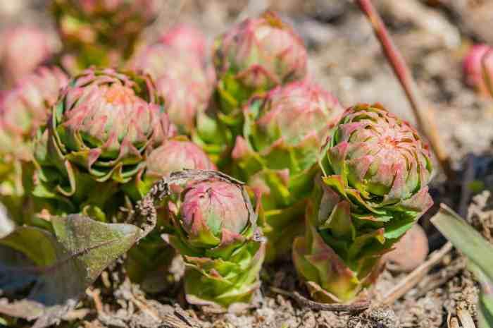 Трава родиола розовая - лечебные свойства
