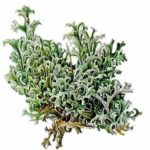 Исландский мох (цетрария) — применение от кашля