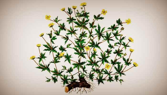 Калган трава, корень - лечебные свойства