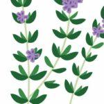 Трава чабрец — полезные свойства