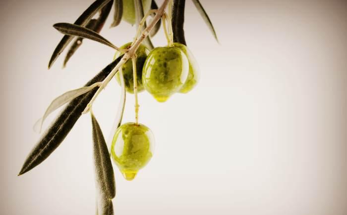 Ветвь оливкового дерева