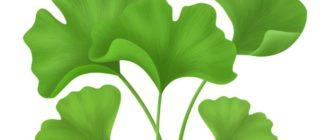 Растенение Гинкго билоба - лечебные свойства