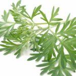 Трава полынь горькая — применение, лечебные свойства