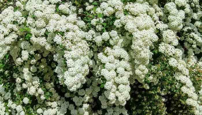 Растение Таволга