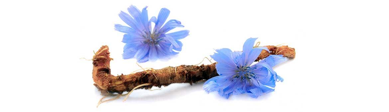 Корень и цветки цикория